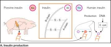 Insulin Effects
