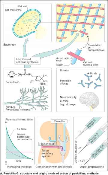 Blocks Cell Wall Synthesis Penicillin