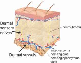 Lymphatic Endothelial Cells Dermis