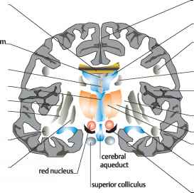 Internal Capsule Thalamus