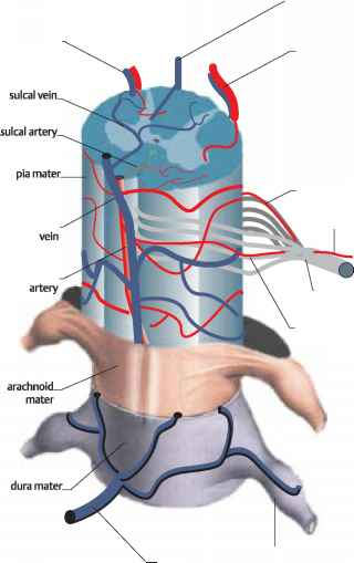Vertebral Venous Plexuses