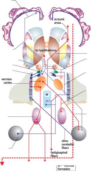 Lateral Vestibular Nuclei And Red Nuclei