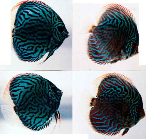 Discus Fish Disease Guide