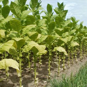 How To Grow Tobacco At Home