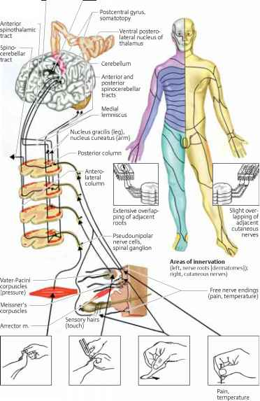 Spinothalamic Pathway And Proprioception