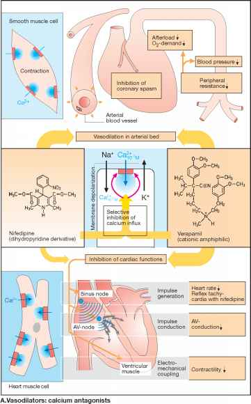 Calcium Blockers And Cyp Enzymes