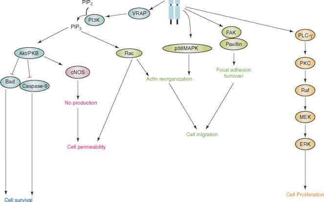 Vegfr Intracellular Signalling