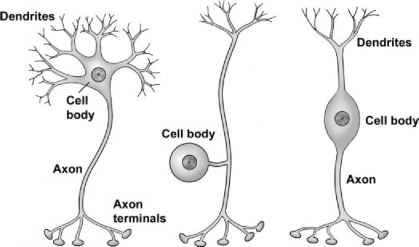 Structure Multipolar Neuron