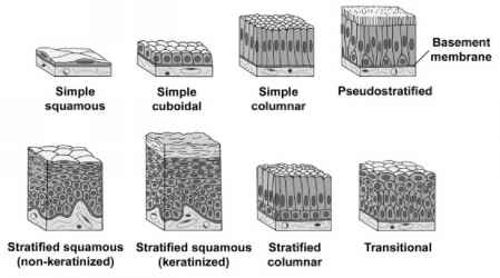 Types of Lining and Covering Epithelium Simple epithelial tissues ...