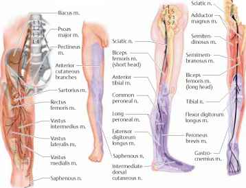 femoral nerve distribution - multiple sclerosis, Muscles